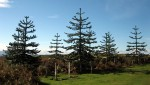 Monkey Puzzle Trees at the top