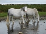 Horses at the hilltop pool